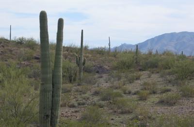 Huge cactuses in Arizona desert